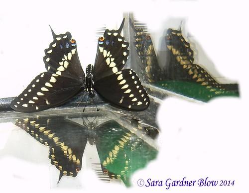 flowers nature butterfly butterflies buckeye blackswallowtail swallowtails