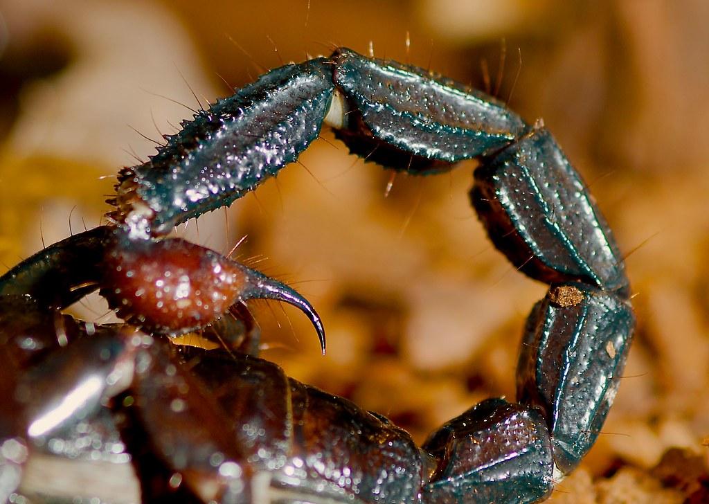 Emperor Scorpion (Pandinus imperator)