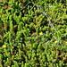 Small photo of Empetrum nigrum (Crowberry)