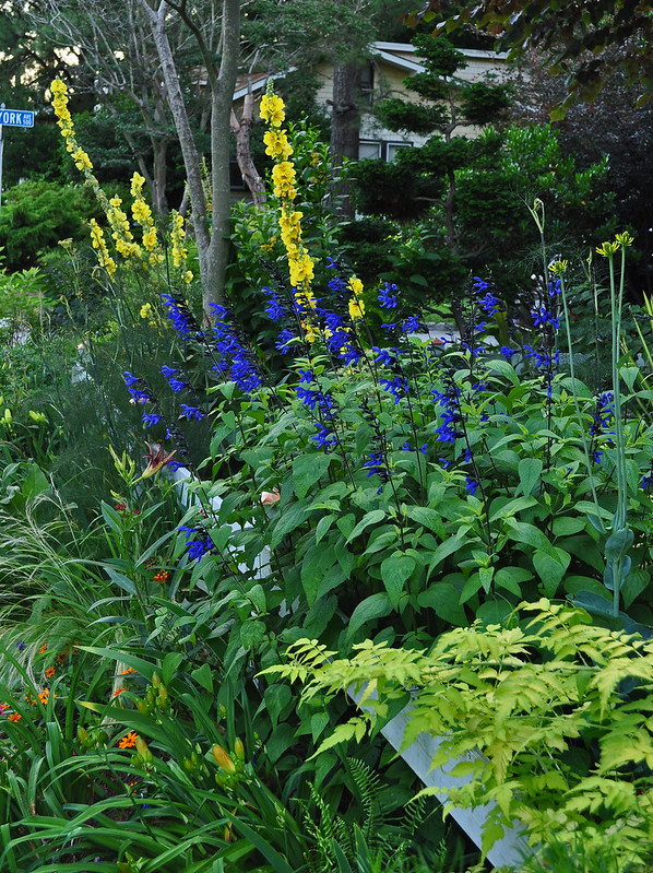 Salvia guaranitica 'Black and Blue' and Verbascum 'Banana Custard' and Rubus cockburianus 'Aurea'