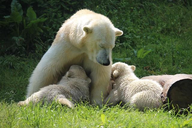 Eisbärin Giovanna mit Nela und Nobby