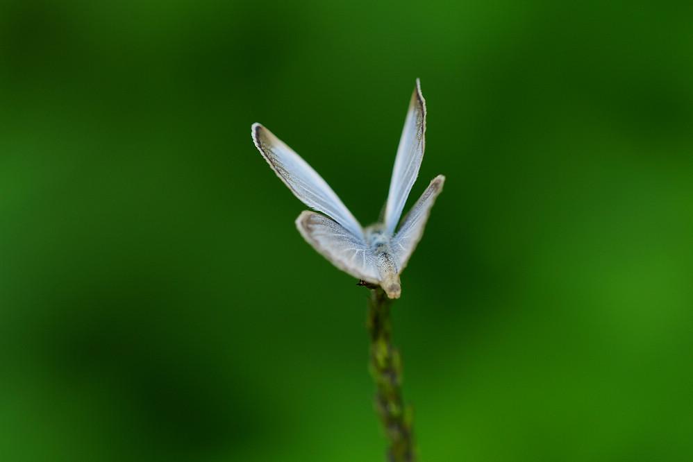 藍灰蝶屬藍灰蝶14S103
