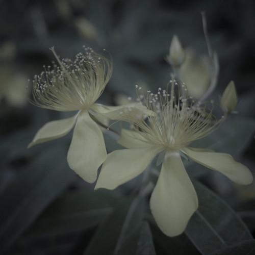 Chinese hypericum kasuka