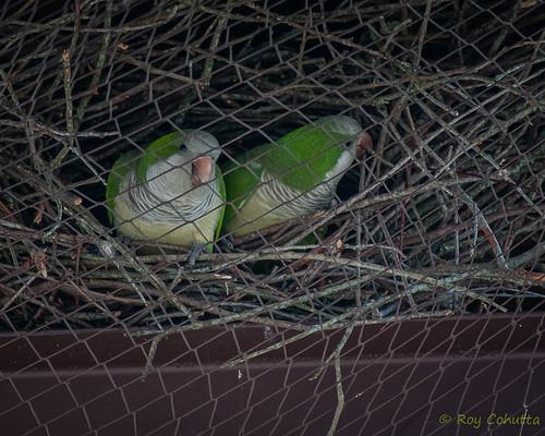 red georgia parrot parakeet monachus monkparakeet myiopsitta psittacidae albanygeorgia doughertycounty roycohutta