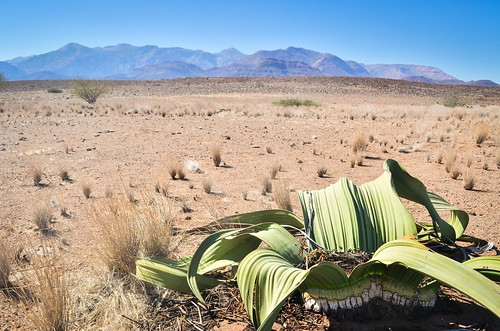 The surviving Welwitschia