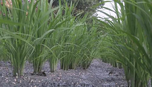 過度施肥對土地及作物產生不好的影響