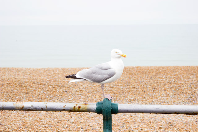 seagull on Brighton beach