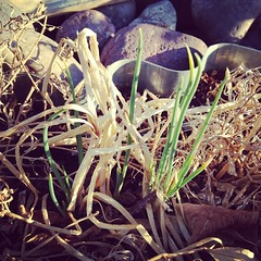 I'itoi's onions that were left in the ground are putting out new growth! #epicyardfarm