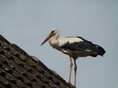 Noch ein Storch auf einem anderen Dach