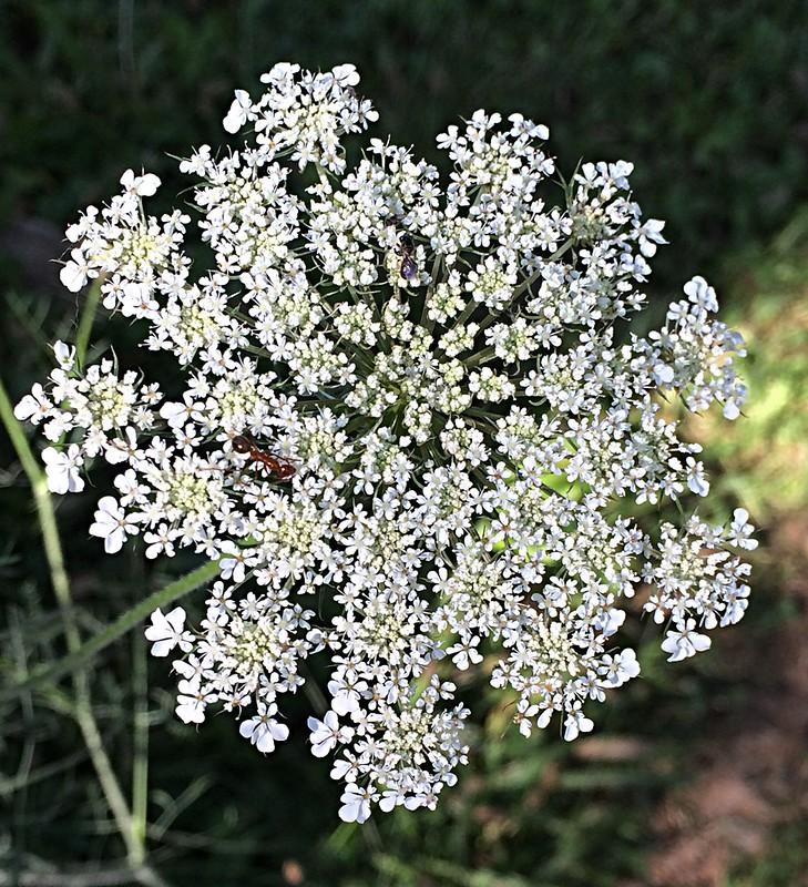 White flowering weed