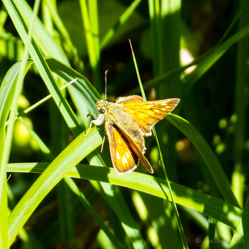 Day flying moth