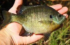 tilapia, animal, fish, fish, marine biology, fauna,