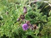 Purple Thistle in Dorset