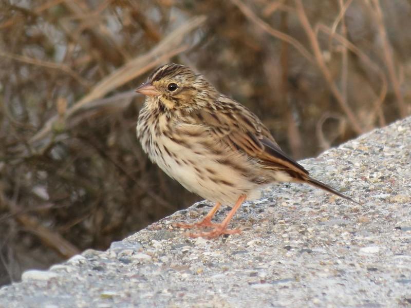 IMG_1875 Savannah Sparrow