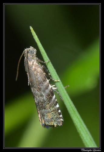 Tordeuse des graines de l'épinette (Cydia strobilella)