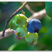 Wild Highbush Blue Berry by richpope