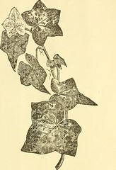 """Image from page 40 of """"Spring catalogue of new and beautiful plants"""" (1873)"""