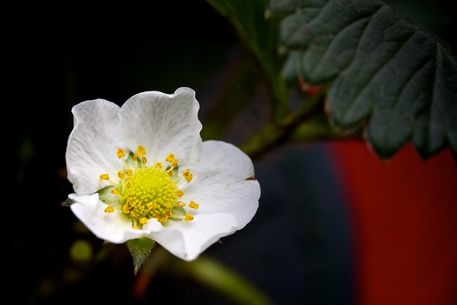 strawberry flower (macro)