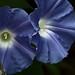 Blue Flowers Alden Cornell Molokai Hawaii