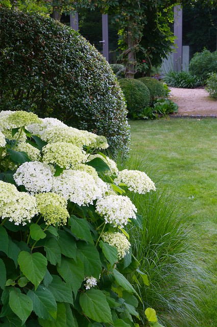 Hydrangea arborescens 'Annabelle' like Hydrangea arborescens 'Annabelle' should be...