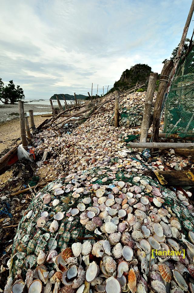 Scallops shore