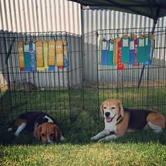 The beagles did good the weekend! We are all done with Day 3 and I have some very hot and tired pups! We picked up a few more Qs today. Dax went 4/5 and Dylan went 2/5. Bummed Dylan missed his Wildcard Q to finish off his CL4-H, but it was his last run of