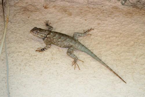 Clark's Spiny Lizard (Sceloporus clarkii)