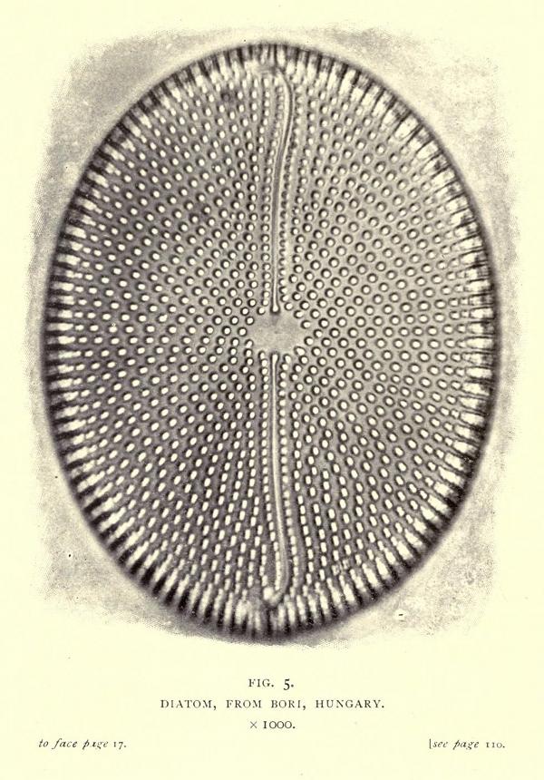 smith-diatom2