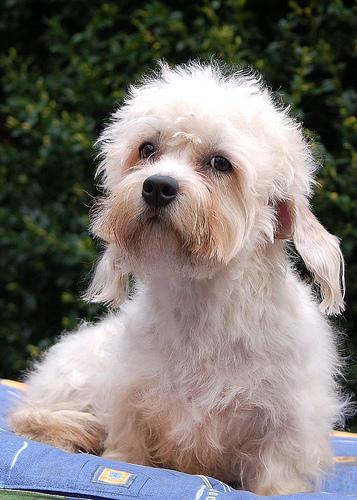 el perro Dandie Dinmont