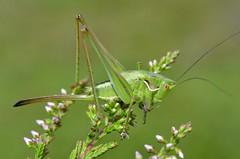 Gampsocleis glabra female (last instar larva)