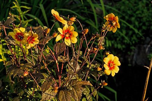 dahlia flowers color sunshine sunrise garden