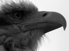 Greifvogel auf der Photokina 2014