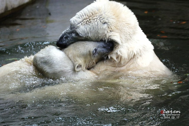Eisbären Giovanna&Nobby 2014_09_17 185