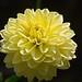 Ponpon Dahlia Yellow