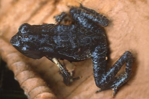<i>Rhaebo andinophrynoides</i> Sapo Andino (juvenil)