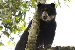 Andean Bear  - Oso de Anteojos
