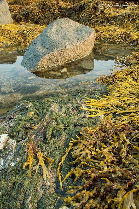 seaweed rockpool anglesey wales bladder wrack bladderwrack