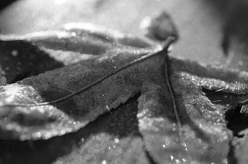 blackandwhite nature leaf frost walldecor naturephotography walldecoration beautifullandscapes naturephotographer landscapephotos canvasprints photosoncanvas naturefineart delawarephotographer printsoncanvas naturephotographerdelaware