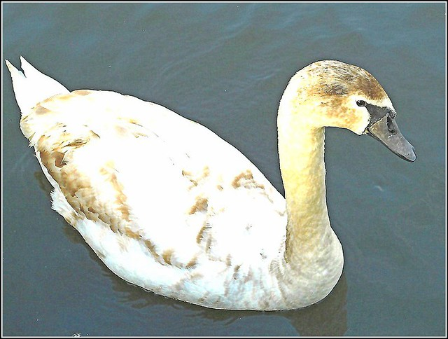 Young Swan ..