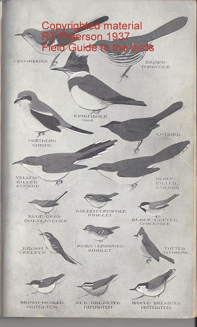 Peterson 1937 Shrike illustration
