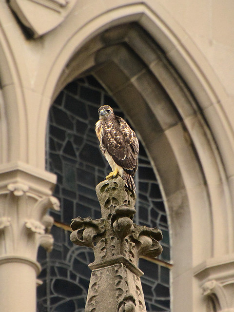 Cathedral Hawk Fledgling #3 (2303)