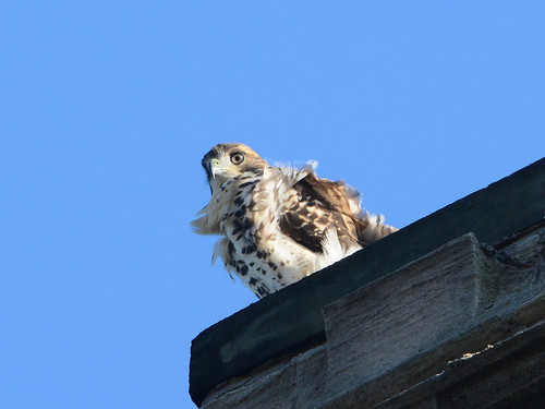 Cathedral Hawk Fledgling - 3147