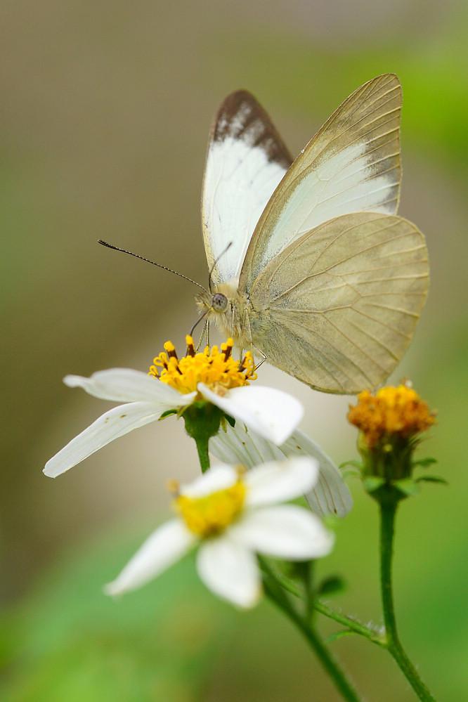 尖粉蝶屬鑲邊尖粉蝶14S01