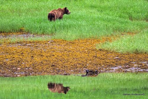canada britishcolumbia grizzlybear jamesanderson japhotography khutzeymateengrizzlysanctuary