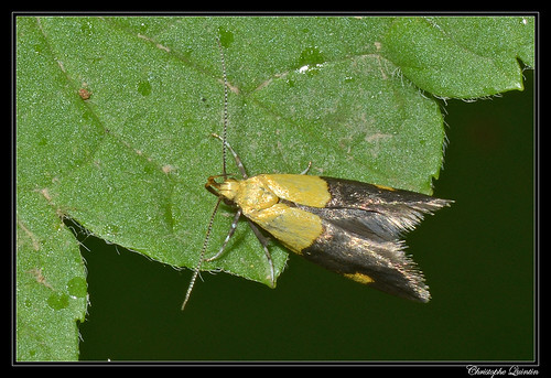 Oecophora bractella