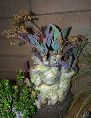 photographed at the 2014 san francisco cactus & succulent society show & sale, Cyphostemma juttae
