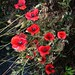 Some Poppies Flowers Red