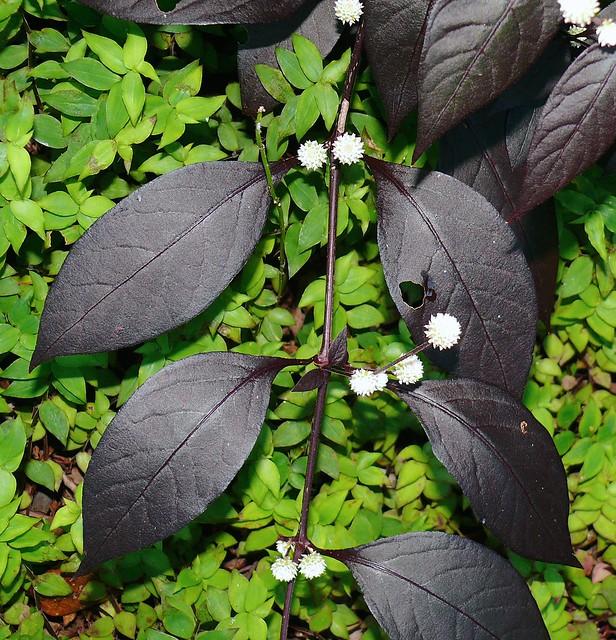 bad invasive rainforest pest plant Alternanthera brasiliana rubignosa Airlie Beach P1180896