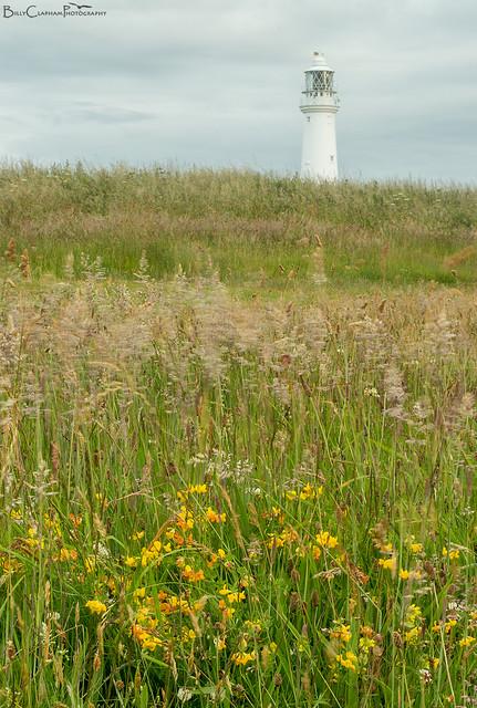 birdsfoot trefoil flower lighthouse flamborough head