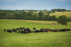 beef research and teaching farm_south farm_summer_0013